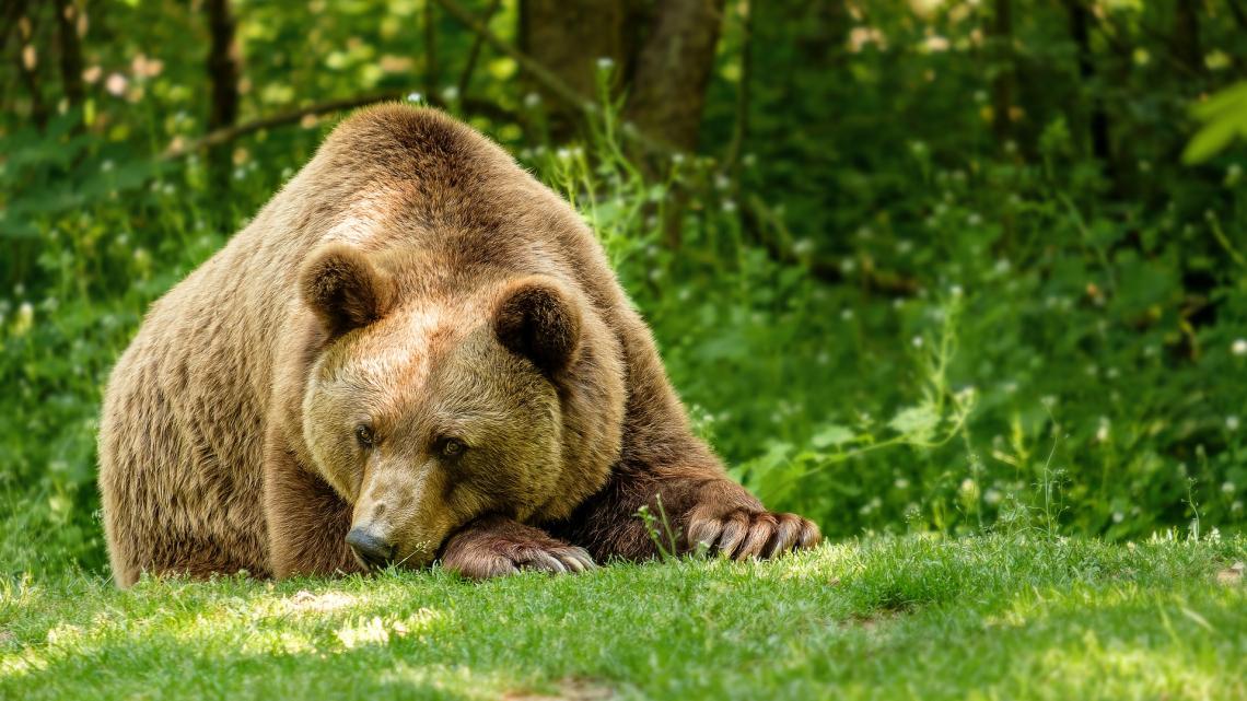 Новости про медведей с коноплей конопля произростание